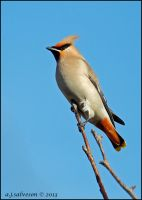 Waxwing. by andy-j-s