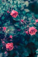 Wild roses by Obsessed-by