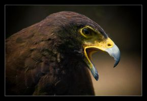 Harris's Hawk. by feudal89