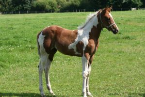 Paint horse foal stock by TigressStocks