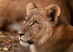 Lion Cub 9024 by robbobert