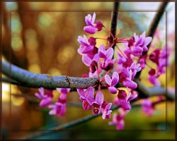 Redbud Blooming by TThealer56