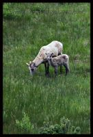 Big Horn Sheep by iLiveLaughLove