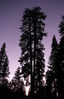 Sequoia Silhouette by copperarabian