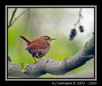 Wren V by andy-j-s