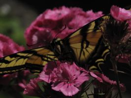 My front yard Butterfly 7 by Fallonkyra