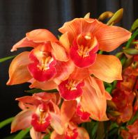 orange cymbidium orchid by Foozma73