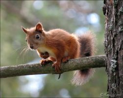 Little squirrel by Loneiris