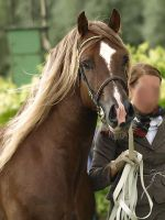 Welsh cob stallion by wakedeadman
