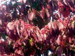 Fall Dogwood, Detail by wdcarty