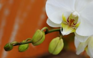 Orchid by FireFlyExposed
