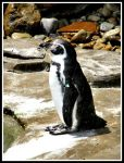 Humbolt Penguins 1 by superfrodo
