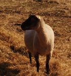 White Sheep with black head STOCK 0002 by cutedeviantfangirl