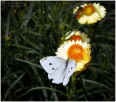 White Butterfly by Sonify