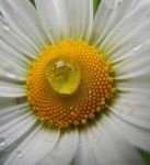 Daisy macro drop by Ranae490