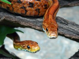 Snake x2 by Agaver