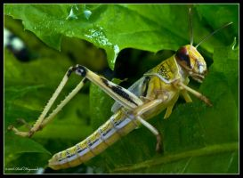 Gregarious Locust 2 by mym8rick