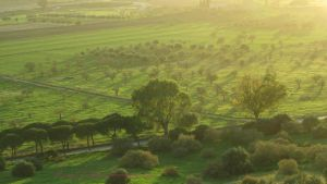 The Olive Trees of Agrigento by RosaryOfSighsx