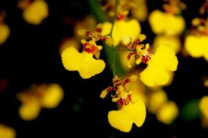 Orchid-  Yellow Dancing Ladies by jasaholic