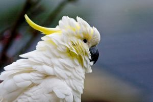 Sulphur Crested Cockatoo 89 by chezem