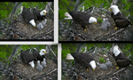 Eagle Cam Family Reference Bundle by AliyahZoe-Stock