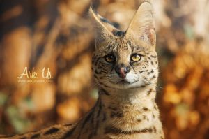 Serval by Arkus83