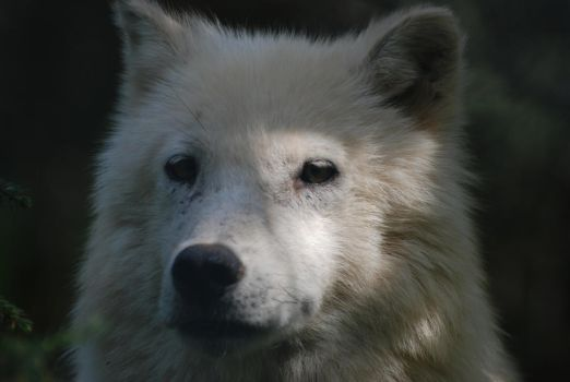 Arctic wolf by Buck37