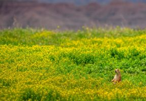 Prairie Dogs Home by ElaineSelene
