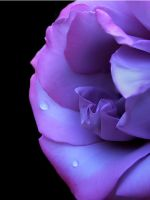 Droplets on a Purple Rose by andras120