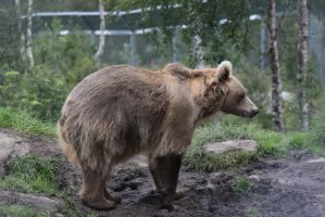 Bear Stock by Aredelsaralonde