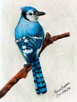 bluejay by Adamb22