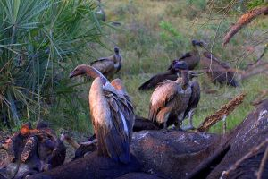 White-Backed Vulture by lenslady