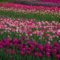 13-05 tulip field #7 by evionn