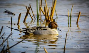 Northern Pintail by StephGabler