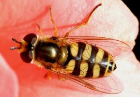 Hoverfly by Socrahcat