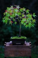 Acer in Autumn by organicvision