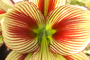 Butterfly Amaryllis by Photos-By-Tanya