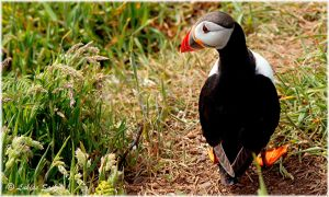 I'm lost in Skomer! by lukias-saikul