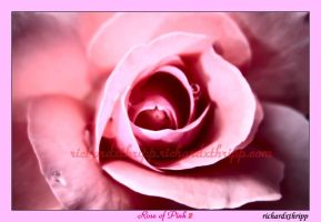 Rose of Pink 2 by richardxthripp