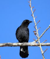 American Crow by sgt-slaughter