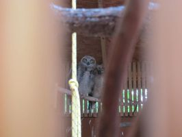 Young Great Horned Owls 1 by Windthin