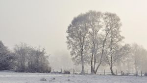 Birch trees in the mist by younghappy