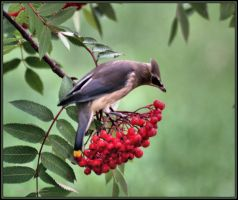 CEDAR WAXWINGS 1. by Kittihawk11