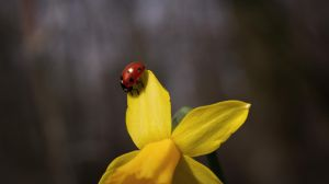 Ladybug sitting on a Narcissus by Danimatie