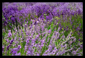Lavender Fields Forever - Centre Of Cracow - 1 by skarzynscy