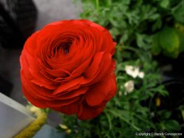 Red Ranunculus by WendyFae
