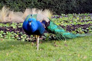 Holland Park Peacock In Camouflage Mode by aegiandyad