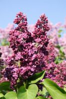 red lilac by crazyfreedom