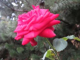 Pink Rose by AnnabellLee666