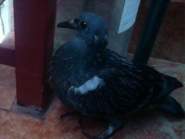 Almost adult pigeon by NightFury1020